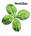 Foliorum compositio - Verticillata.jpg