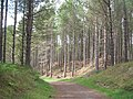 Forested sand dunes, Tentsmuir - geograph.org.uk - 1454337.jpg
