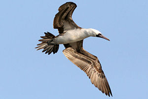 Peruvian booby - Image: Fou.varie 1