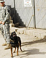 Four-legged Soldiers sniff out insurgent activities in 30th Heavy Brigade Combat Team area of operations DVIDS179030.jpg