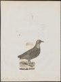 Francolinus pintadeanus - 1788-1823 - Print - Iconographia Zoologica - Special Collections University of Amsterdam - UBA01 IZ17100077.tif