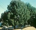 Fraxinus americana tree.jpg