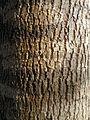 Fraxinus angustifolia subsp. oxycarpa bark.jpg