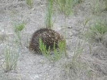 Archivo:French Island Echidna.ogv