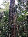 Freycinetia banksii Puketi Forest Trail 1 NZ.JPG