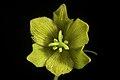 Fritillaria camschatcensis fma. flavescens (L.) Ker Gawl., Bot. Mag. 30 t. 1216 (1809) (49974495397).jpg