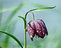 Fritillaria meleagris 01.jpg