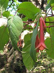 Fuchsia fulgens2573554714.jpg