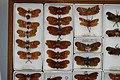 Fulgoridae Drawers - 5036092227.jpg