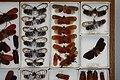 Fulgoridae Drawers - 5036699422.jpg