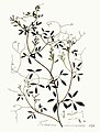 Fumaria claviculata — Flora Batava — Volume v3.jpg