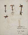 Fungi agaricus seriesI 023.jpg