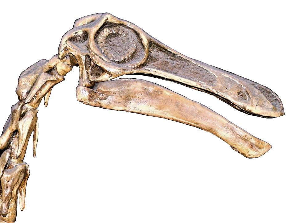 Gallimimus bullatus.002 - Natural History Museum of London (white background)