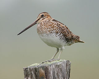 Wilsons snipe Species of bird