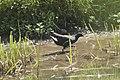 Gallinule poule d'eau (Gallinula chloropus) 01.jpg