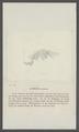 Gammarus puteanus - - Print - Iconographia Zoologica - Special Collections University of Amsterdam - UBAINV0274 098 02 0006.tif