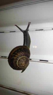File:Garden Snail in Israel.webm