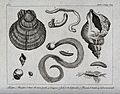 Gastropod molluscs, including oysters, leeches, scolopendrid Wellcome V0021955.jpg