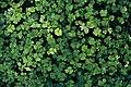 Gaukesyre eller skogsvaffel ved Olterudelva 11-08-19.jpg