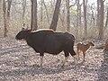 Gaur and its golden calf, Nagarahole TR AJTJ P1090054.jpg