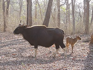 Gaur - A female gaur with calf
