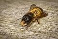 Gehörnte Mauerbiene mit Baumaterial.jpg