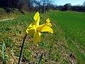 Gelbe Narzisse (Narcissus pseudonarcissus) zwischen Neubrunn und Pettstadt.jpg