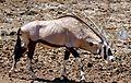 Gemsbok (Oryx gazella) coming to drink ... (32704370660).jpg