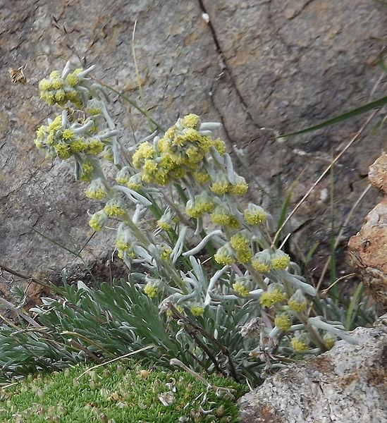 Génépi laineux (Artemisia eriantha). Synonymes: génépi mâle, génépi bourru, génépi à fleurs cotonneuses.