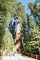General Sherman Tree.jpg