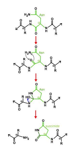 Asparagine peptide lyase - General asparagine self-cleaving mechanism in asparagine peptide lyases