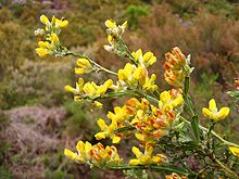 Flores de carqueja