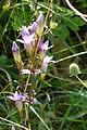 Gentianella germanica Kerstlingeroeder Feld 01.jpg