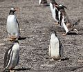 Gentoo Penguin chicks on Saunders Island (5556993211).jpg