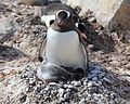 Gentoo Penguin with chicks (6123868622).jpg