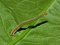 Geometridae - Rhodometra sacraria-1.JPG