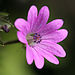 Dove's-foot Crane's-Bill - Photo (c) Ophrys34, some rights reserved (CC BY-SA)