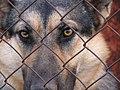 German Shepherd Eyes.jpg