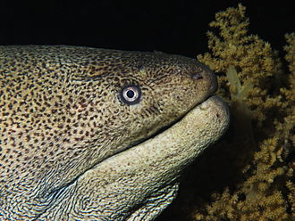Giant moray - Image: Giant moray from the Red Sea