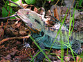 Gippsland water dragon.jpg