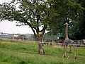 Giraffe, alpacas and lioness - geograph.org.uk - 469975.jpg