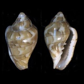 <i>Glabella</i> (gastropod) genus of molluscs