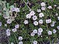 Globularia repens01.jpg