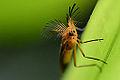 Glowworm beetle (13676432265).jpg