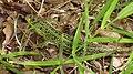 Gnojno-Lacerta-agilis-080510-34.jpg
