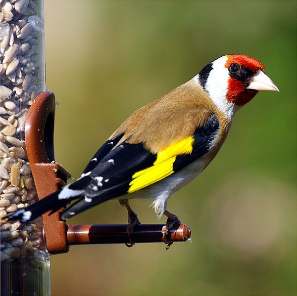 Ficheiro:Gold Finch Carduelis carduelis.jpg