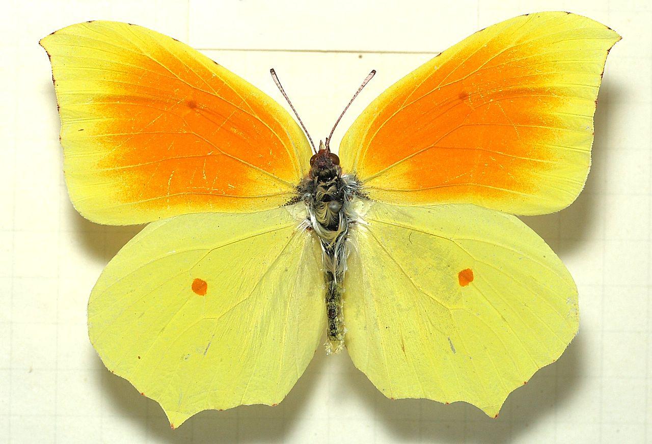 Gonepteryx.cleopatra.mounted.jpg