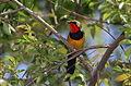 Gorgeous bushshrik, Chlorophoneus viridis, Vumba, Zimbabwe (21825235111).jpg