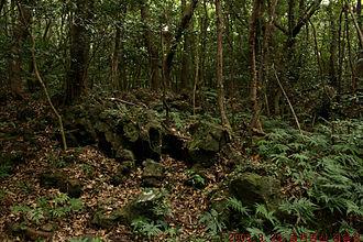 Gotjawal Forest - Typical scene of Gotjawal Forest