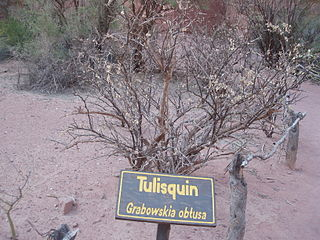 <i>Grabowskia</i> genus of plants